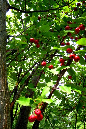 Apple Tree 2 copyWEB