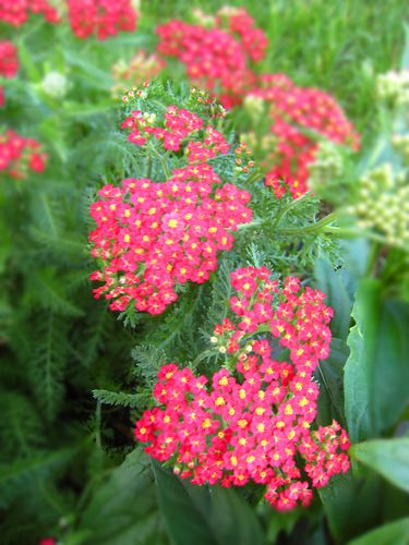 My Favorite Yarrow copyWEB